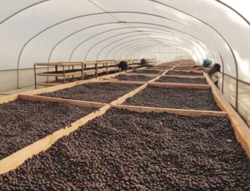 Coffee Processing 1